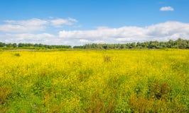 Gelbe wilde Blumen auf einem Gebiet im Sommer Stockbilder