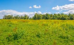 Gelbe wilde Blumen auf einem Gebiet im Sommer Stockfotografie