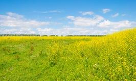 Gelbe wilde Blumen auf einem Gebiet im Sommer Lizenzfreie Stockfotos
