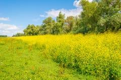 Gelbe wilde Blumen auf einem Gebiet im Sommer Stockfoto