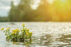 Gelbe wilde Blumen durch den Fluss mit Sonne strahlt aus Stockbilder
