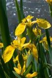 Gelbe wilde Iris Lizenzfreie Stockfotografie