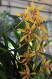Gelbe wilde Orchideen Lizenzfreie Stockbilder