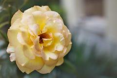 Gelbe wilde Rose - schöne Blumenanlage Rosa stockfotografie