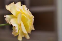 Gelbe wilde Rose - schöne Blumenanlage Rosa stockfoto