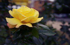 Gelbe wilde Rosen-Blumenfrühlingsanlage im Garten stockbilder