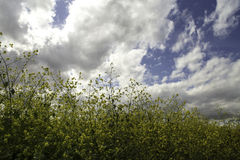 Gelbe Wildflowers an einem bewölkten Tag Lizenzfreie Stockfotografie