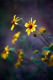 Gelbe Wildflowers in einer Feld-Wiese Stockbilder