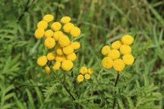 gelbe Wildflowers in einer Wiese Stockfoto