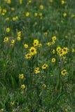 Gelbe Wildflowers im grünen Gras stockbilder