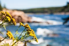 Gelbe Wildflowers mit Acadia-Nationalpark im Hintergrund Lizenzfreie Stockbilder