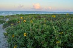 Gelbe Wildflowers umranden weißen Sanddüneweg, um unterzustützen Stockbilder
