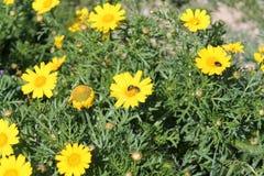 Gelbe Wildflowers und drei Wanzen stockfotografie