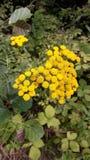 Gelbe Wildflowersblumen in der Wiese Stockbilder