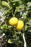 Gelbe Zitronen stockfoto