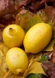 Gelbe Zitronen- Nochlebensdauer Lizenzfreie Stockfotos