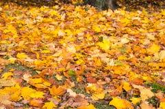 Gelber Acer verlässt aus den Grund im Herbst Lizenzfreie Stockbilder