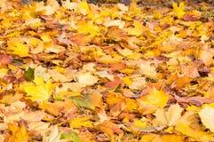 Gelber Acer verlässt aus den Grund im Herbst Stockfotografie