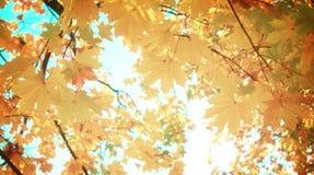 Gelber Ahorn im Herbstpark Lizenzfreie Stockbilder