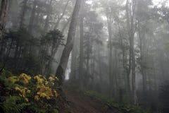 Gelber Ahorn im nebelhaften grünen Fichtebuchenwald Stockbilder