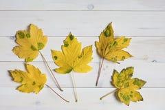 Gelber Ahornbaum treibt mit grünen Stellen auf einem weißen hölzernen backg Blätter Lizenzfreie Stockbilder