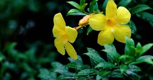 Gelber Allamanda im Regen stock video footage
