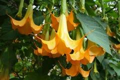 Gelber Angel Trumpets Flowers Lizenzfreie Stockfotografie