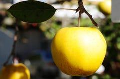 Gelber Apfel Stockfotografie