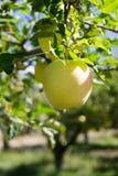 Gelber Apfel Lizenzfreie Stockbilder