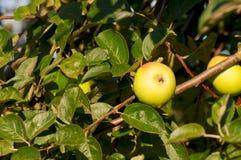 Gelber Apfel auf dem Zweig im grünen Laub stockfoto