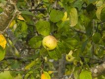 Gelber Apfel, der auf Niederlassung im Sonnenlicht, selektiver Fokus, flacher DOF riping ist Lizenzfreie Stockfotos