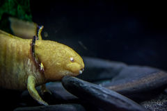 Gelber Axolotlkopf lizenzfreie stockbilder