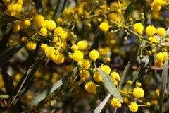 Gelber Ball von Mimosenblumen Tag der Frau s, am 8. März Stockfotografie