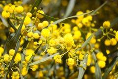 Gelber Ball von Mimosenblumen Tag der Frau s, am 8. März Lizenzfreie Stockfotografie