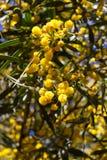 Gelber Ball von Mimosenblumen Tag der Frau s, am 8. März Lizenzfreies Stockfoto