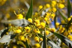 Gelber Ball von Mimosenblumen Tag der Frau s, am 8. März Lizenzfreies Stockbild