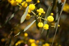 Gelber Ball von Mimosenblumen Tag der Frau s, am 8. März Lizenzfreie Stockbilder