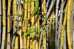Gelber Bambus. Stockfotografie