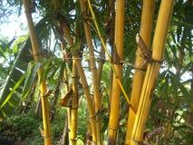 Gelber Bambusbaum am Morgen stockbilder