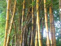 Gelber Bambuswald am Morgen-, jungen und altenbambus stockfotos