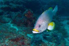 Gelber Barsch, der Indische Ozean Unterwasser Stockbild