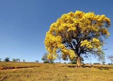 gelber Baum bedeckt in den Blumen Handroanthus-albus Stockbild