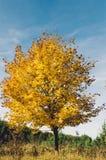 Gelber Baum im Herbst Lizenzfreies Stockfoto
