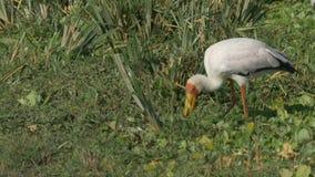 Gelber berechneter Storch auf Masai Mara Game Reserve, Kenia stock footage