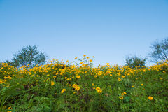 Gelber Berg durch mexikanische Sonnenblume Stockbilder