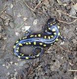 Gelber beschmutzter Salamander Stockbilder