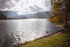 Gelber Blattherbst am Bled See in Slowenien angesichts der Insel stockfotografie