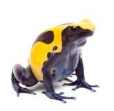 Gelber blauer Giftpfeilfrosch lizenzfreies stockbild