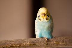 Gelber blauer Sittich Stockbild