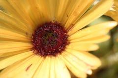 Gelber Blume Gerbera mit einer Karmin-farbigen Mitte, Nahaufnahme 3 Stockfotografie